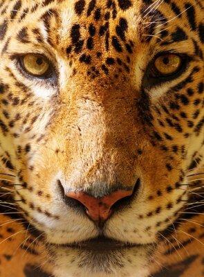 Póster El primer tiró de un leopardo hermoso