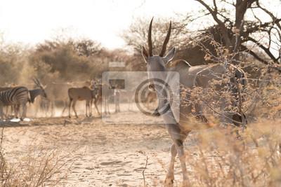 Eland caminando al pozo de agua