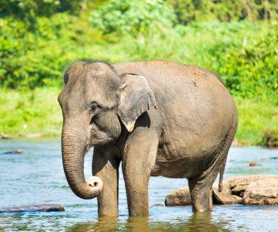 Póster Elefante