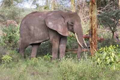 Póster Elefante adulto con grandes colmillos de pie en perfil cerca del tronco del árbol. Lago Manyara Parque Nacional, Tanzania, África.