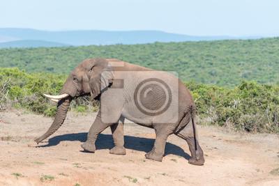 Elefante africano caminando