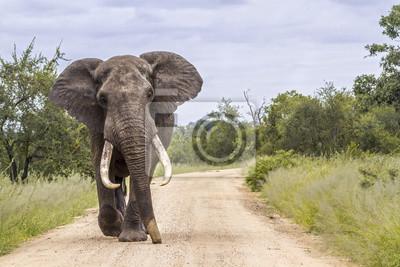 Elefante africano del arbusto en el parque nacional de Kruger, Suráfrica