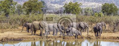 Elefante africano del arbusto en el parque nacional de Kruger, Suráfrica; Especie Loxodonta africana familia de Elephantidae