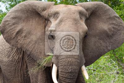 Elefante africano Disfrutando Succulant Grass en Kruger NP