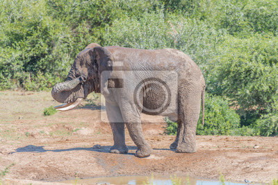 Elefante africano joven que limpia el fango de sus ojos