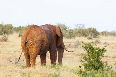 Póster Elefante africano rojo en Kenia