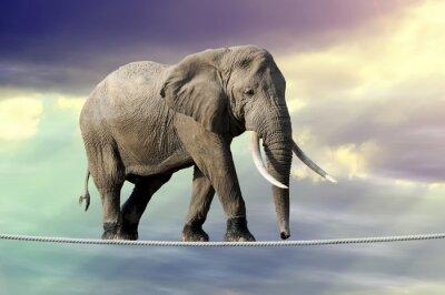 Póster Elefante caminando sobre una cuerda