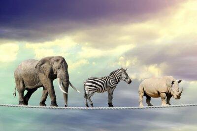 Póster Elefante, cebra, rinoceronte caminando sobre una cuerda