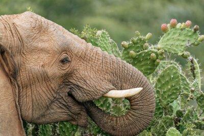 Póster Elefante comiendo pera espinosa