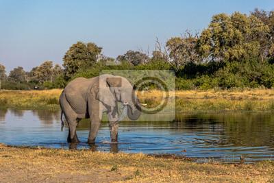 Elefante de itinerancia alrededor del río Chobe, en el Parque Nacional de Chobe, Botswana, África