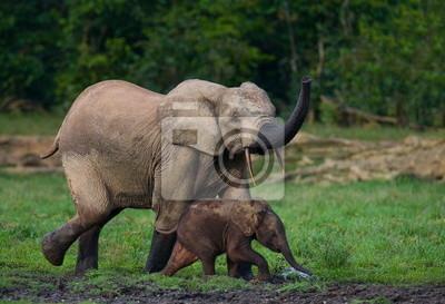 Elefante del bosque con un bebé. Jungle.