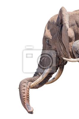 Elefante descansando su tronco aislado en blanco