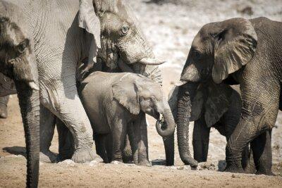 Póster Elefante en el Parque Nacional de Etosha.