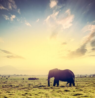 Póster Elefante en la sabana africana al atardecer. Safari en Amboseli, Kenia, África