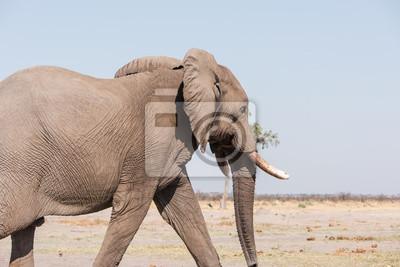 Elefante masculino Botswana