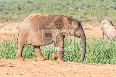 Elefante, pantorrilla, ambulante
