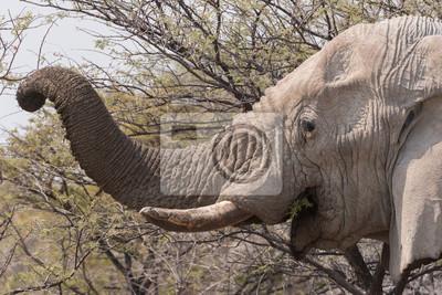 Elefante, trunck, comida, acacia