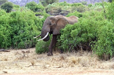 Póster Elefantes africanos en la sabana