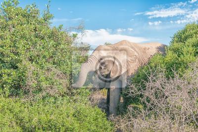 Elefantes, navegación, arbustos