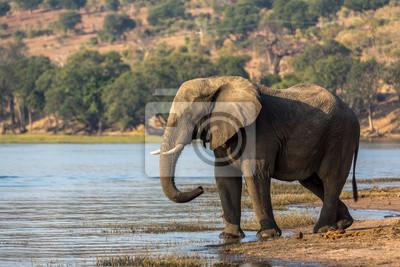 Elephant roaming around Chobe River in the Chobe National Park, Botswana, Africa