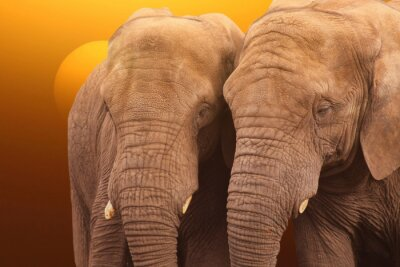 Póster Elephants sunrise. Pair of Elephants together at sunrise.