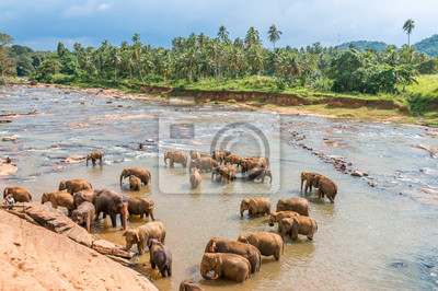Elephants Swimming