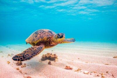Póster En peligro de extinción Hawaiian Green Sea Turtle cruceros en las cálidas aguas del Océano Pacífico en Hawai