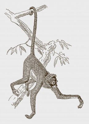 Póster Endangered white-bellied spider monkey (ateles belzebuth) hanging with its tail at a branch. Illustration after an engraving from the 19th century