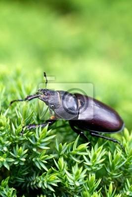 Escarabajo de macho femenino
