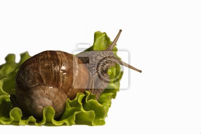 Escargot sur salade