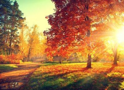 Póster Escena del otoño. Fall. Los árboles y las hojas en la luz del sol