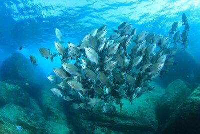 Póster Escuela de peces en el arrecife de coral submarino en el océano del mar