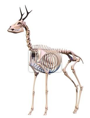 Esqueleto ciervos carteles para la pared • pósters costilla, hueso ...