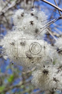 Extrañas flores, semillas en el hisopo blanco.