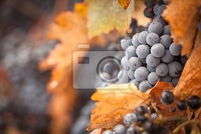 Exuberante, Ripe vinos: con terminales de niebla en la vid