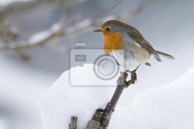 Familier Rougegorge en hiver sous la neige