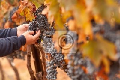 Farmer inspeccionar su Ripe vinos: