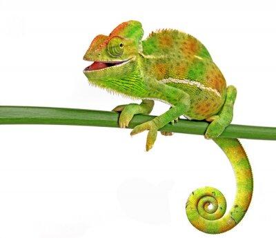 Póster feliz camaleón