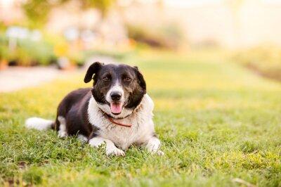 Póster Feliz perro acostado en la hierba verde con las patas de extensión