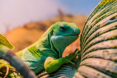 Póster fiji bandas iguana