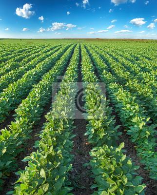 Filas de soja en campo