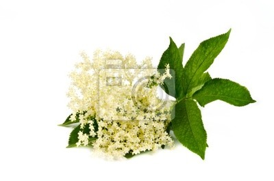 flor de saúco en blanco