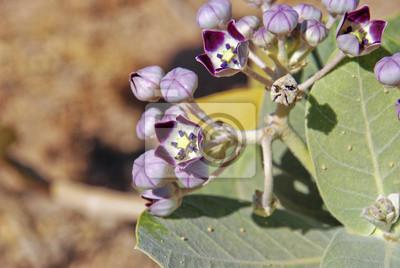 flor en el desierto de Omán