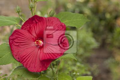 Flor roja del hibisco en el jardín