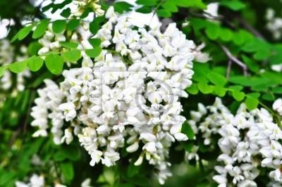 Flores blancas del acacia
