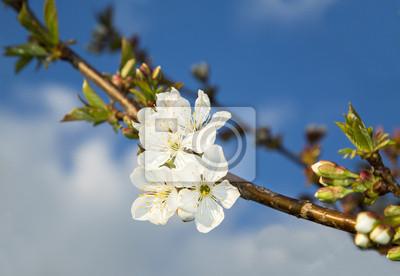 Flores de cerezo en flor en primavera en el cielo azul