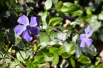 Flores de color violeta de la planta Vinca minor.