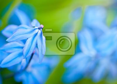 Flores de primavera (Scilla Sibirica)