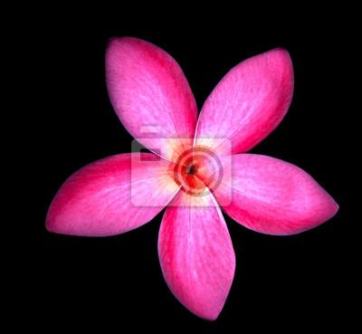 flores Fragipani rojas con agua dulce en el centro