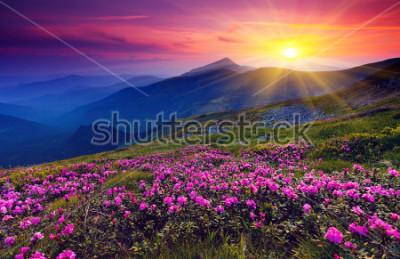 Póster Flores mágicas de rododendro rosa en la montaña de verano